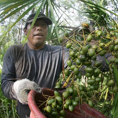 ผลจากต้นปาล์มใบเลื่อย ปาล์มใบรูปพัด หรือปาล์มแคระ พบมากในแถบตะวันออกเฉียงใต้ของสหรัฐอเมริกา